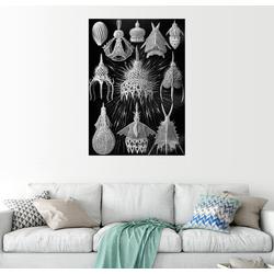 Posterlounge Wandbild, Cyrtoidea (Kunstformen der Natur: Grafik 31) 70 cm x 90 cm