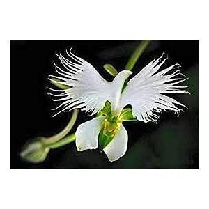 Aamish 100 Stück Reiher Blume Bonsai Pflanzen Weiße Taube Orchidee Blumensamen