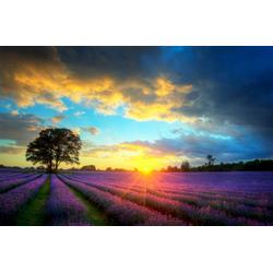 Fototapete Lavender Fields, glatt 3 m x 2,23 m