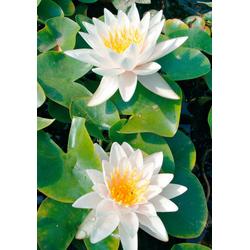 BCM Wasserpflanze Seerose Walter Pagels