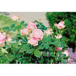 BCM Beetpflanze Strauchrose Eden Rose®