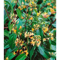 BCM Gehölze Immergrünes Geißblatt, 2 Pflanzen