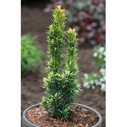BCM Hecken Eibe David, Höhe: 50-60 cm, 2 Pflanzen