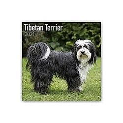 Tibetan Terrier - Tibet Terrier 2021