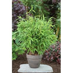 BCM Hecken Fresh Green Bambus, Höhe: 80-100 cm, 1 Pflanze grün Heckenpflanzen Pflanzen Garten Balkon