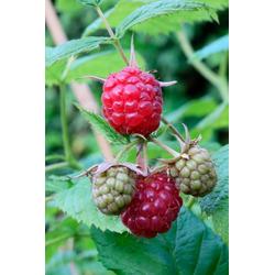 BCM Obstpflanze Himbeere Glen Coe, Höhe: 30-40 cm, 2 Pflanzen