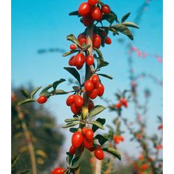 BCM Obstpflanze Gojibeere