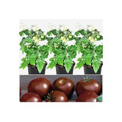Volmary Gemüsepflanze Tomate Schokolade Set, 3 Pflanzen