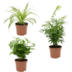 Dominik Zimmerpflanze Palmen-Set, Höhe: 15 cm, 3 Pflanzen