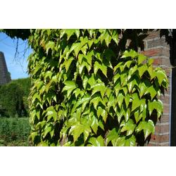 BCM Kletterpflanze Wilder Wein tricuspidata 'Veitchi', Lieferhöhe ca. 100 cm, 1 Pflanze