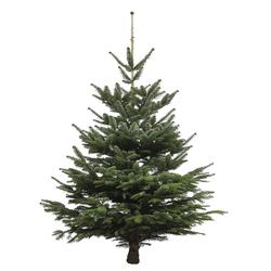 Echter Weihnachtsbaum Nordmanntanne, Höhe ca. 80 - 100 cm, Premiumqualität, f...