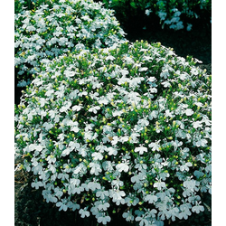 BCM Beetpflanze Lobelia
