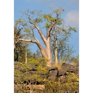 Tropica - Moringa Geisterbaum von Etosha (Moringa ovalifolia) - 10 Samen