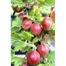 BCM Obstpflanze Ribes uva-crispa Rixanta, Lieferhöhe: ca. 40 cm, 1 Pflanze
