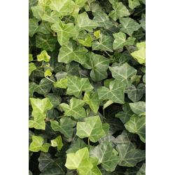 BCM Kletterpflanze Efeu helix 'Hibernica' Spar-Set, Lieferhöhe ca. 100 cm, 2 Pflanzen