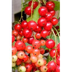 BCM Obstpflanze Johannisbeere Rolan, Höhe: 30-40 cm, 2 Pflanzen