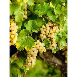 BCM Obstpflanze Wein weiß Spar-Set, Lieferhöhe: ca. 60 cm, 3 Pflanzen
