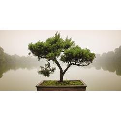 Home affaire Glasbild Panom: Chinesischer Bonsaibaum, 100/50 cm grün Glasbilder Bilder Bilderrahmen Wohnaccessoires