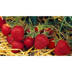 BCM Obstpflanze Erdbeere Florence, 12 Pflanzen