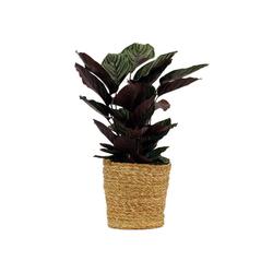 Schinner-Zimmerpflanze »Calathea Makoyana« im 17-cm-Topf - Tchibo - Grün