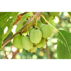 BCM Obstpflanze Kiwi arguta Spar-Set, Lieferhöhe: ca. 60 cm, 2 Pflanzen