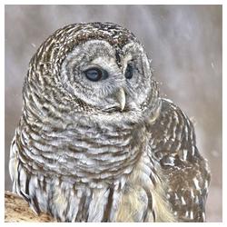 Linoows Papierserviette 20 Servietten, Streifenkautz, Amerikanische Eule,, Motiv Streifenkautz, Amerikanische Eule, Barred Owl