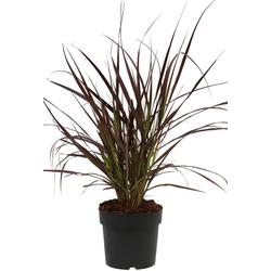 BCM Gräser Lampenputzergras x advena 'Rubrum' Spar-Set, Lieferhöhe ca. 40 cm, 3 Pflanzen