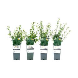 Heckenpflanze »Liguster«, 4er