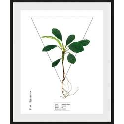 queence Bild Terminalia catappa, (1 Stück) 40 cm x 50 cm