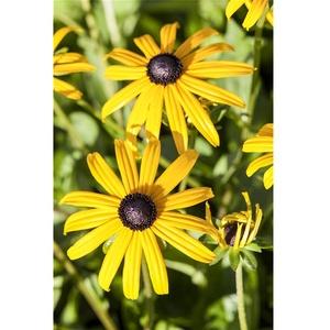 Rudbeckia fulgida sullivantii 'Goldsturm' - Leuchtender Garten-Sonnenhut 'Goldsturm' - 9cm Topf
