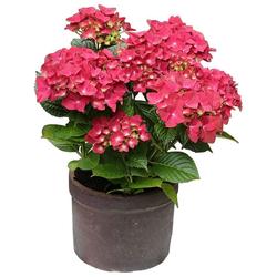 BCM Gehölze Hortensie Leuchtfeuer, Höhe: 30-40 cm, 2 Pflanze