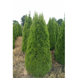 Lebensbaum Smaragd - Thuja occidentalis - 10 L Topf 100-125 cm