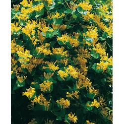 BCM Kletterpflanze Geisblatt tellmanniana Spar-Set, Lieferhöhe ca. 100 cm, 2 Pflanzen