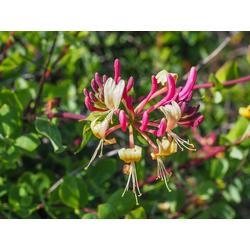 BCM Kletterpflanze Geisblatt heckrottii 'American Beauty', Lieferhöhe ca. 100 cm, 1 Pflanze