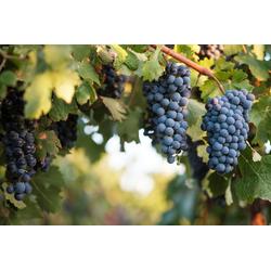 BCM Obstpflanze Wein blau, Lieferhöhe: ca. 60 cm, 1 Pflanze