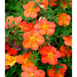 BCM Staude Fingerstrauch Red Ace, 3 Pflanzen