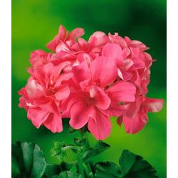 BCM Balkonpflanze Geranie Rosetta