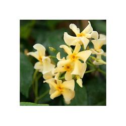 BCM Kletterpflanze Trachelospermum 'Ogon Nishiki', Lieferhöhe ca. 60 cm, 1 Pflanze