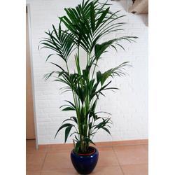 BCM Zimmerpflanze Kentiapalme