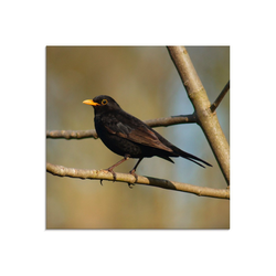 Artland Glasbild Amsel, Vögel (1 Stück) 30 cm x 30 cm x 1,1 cm
