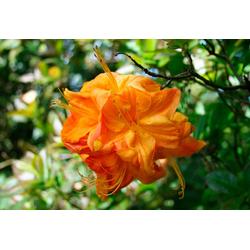 BCM Hecken Rhododendron Azalee Klondyke Set, 3 Pflanzen