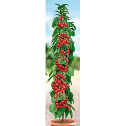 BCM Obstpflanze Säulenobst Kirsche Siberia