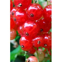 BCM Obstpflanze Johannisbeere Red Poll, Höhe: 30-40 cm, 2 Pflanzen