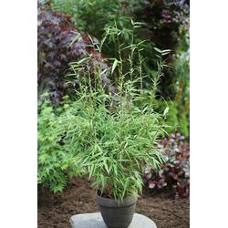BCM Hecken Rufa Bambus, Höhe: 60-80 cm, 9 Pflanzen