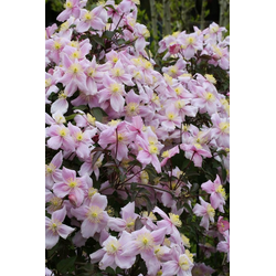 BCM Kletterpflanze Waldrebe rosa, Lieferhöhe: ca. 80 cm, 1 Pflanze