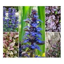 KEYZERS® Bienen-& Bodendecker- Stauden Rarität 3 Pflanzen