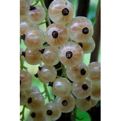 BCM Obstpflanze Johannisbeere Weiße aus Jüterborg, Höhe: 30-40 cm, 2 Pflanzen