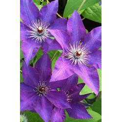 BCM Kletterpflanze Waldrebe lila Spar-Set, Lieferhöhe: ca. 80 cm, 2 Pflanzen