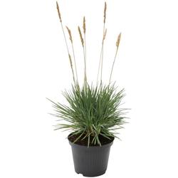 BCM Gräser Schillergras glauca 'Coolio' Spar-Set, Lieferhöhe ca. 40 cm, 1 Pflanze