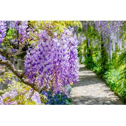 BCM Kletterpflanze Blauregen 'Domino', Lieferhöhe: ca. 60 cm, 1 Pflanze